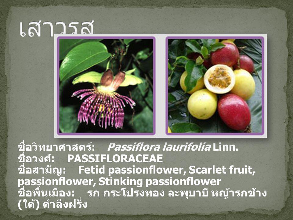 ชื่อวิทยาศาสตร์ : Passiflora laurifolia Linn. ชื่อวงศ์ : PASSIFLORACEAE ชื่อสามัญ : Fetid passionflower, Scarlet fruit, passionflower, Stinking passio