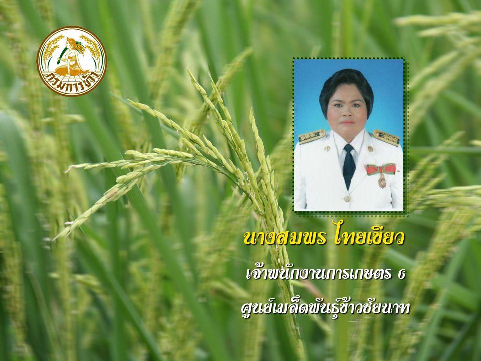นางสมพร ไทยเขียว เจ้าพนักงานการเกษตร 6 ศูนย์เมล็ดพันธุ์ข้าวชัยนาท