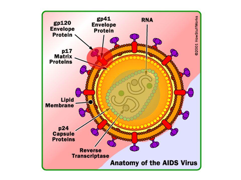 แนวทางการเลือกสูตรยาต้านเอชไอวี ในผู้ป่วยที่ไม่เคยได้รับยามาก่อน สูตรพื้นฐานกลุ่ม B ใช้ในกรณีที่ผู้ป่วยไม่สามารถทนผลข้างเคียงหรือแพ้ยาสูตรพื้นฐาน กลุ่ม A ทุกสูตร แนะนำให้ใช้สูตรเรียงตามลำดับดังนี้ – Stavudine (d4T) + Lamivudine (3TC) + Indinavir (IDV) + Ritonavir (RTV) – Zidovudine (AZT) + Lamivudine (3TC) + Indinavir (IDV) + Ritonavir (RTV)