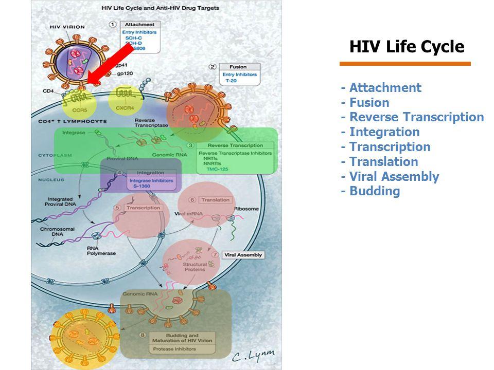 อาการและอาการแสดง Primary/Acute HIV infection Primary/Acute HIV infection – อาการไม่รุนแรง ไม่จำเพาะ และหายเองได้ – เกิดขึ้นหลังการติดเชื้อประมาณ 2-4 สัปดาห์ – ผู้ป่วยจะแสดงอาการ เหมือนอาการของไข้หวัด มีต่อมน้ำเหลือง ทั่วไปโต มีผื่นขึ้นตามตัว แต่ไม่คัน อุจจาระร่วงเฉียบพลัน ซึ่งจะหายไปภายใน 2 สัปดาห์ – การตรวจหา antibody (Ab) ต่อเชื้อจะได้ผลลบ – ตรวจ viral load ในกระแสเลือดจะพบเชื้อเอชไอวีอยู่ในปริมาณ สูง เนื่องจากเชื้อเอชไอวีแบ่งตัวและแพร่กระจายไปทั่วร่างกาย อย่างรวดเร็ว – ร่างกายจะมีการตอบสนองต่อการติดเชื้อเอชไอวี โดยการสร้าง CD8 ซึ่งจะทำให้ปริมาณของเชื้อเอชไอวีในกระแสเลือดลดลง