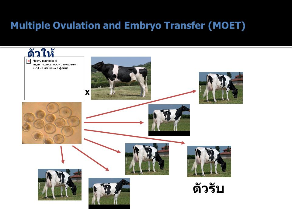 Multiple Ovulation and Embryo Transfer (MOET) ตัวให้ X ตัวรับ