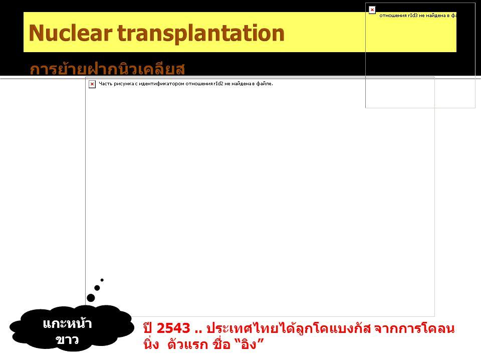"""แกะหน้า ขาว ปี 2543.. ประเทศไทยได้ลูกโคแบงกัส จากการโคลน นิ่ง ตัวแรก ชื่อ """"อิง"""" การย้ายฝากนิวเคลียส"""