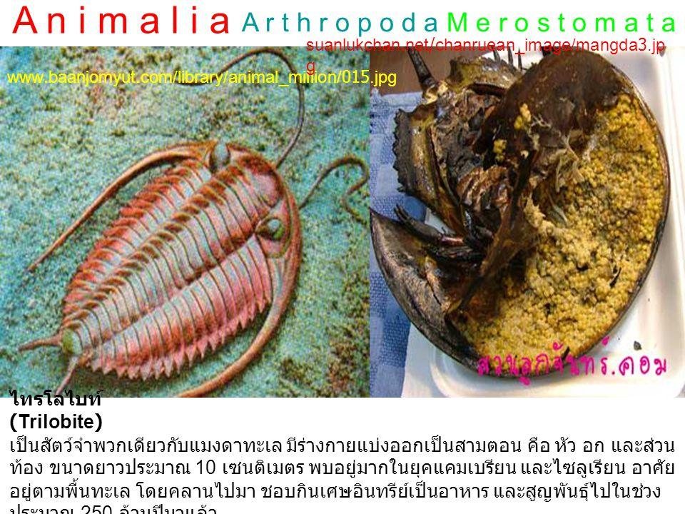 A n i m a l i a A r t h r o p o d aC r u s t a c e a www.thaigoodview.com/.../arthropoda%20(13).jpg ไรน้ำ นางฟ้า 4.bp.blogspot.com/_B_psn2NRlug/SnkMZu