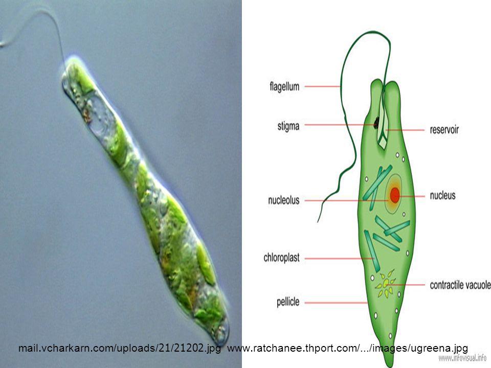 www.buapit.ac.th/.../bio/Part1/images/img13.gif www.geocities.com/.../sa_1/protista/amoeba.jp