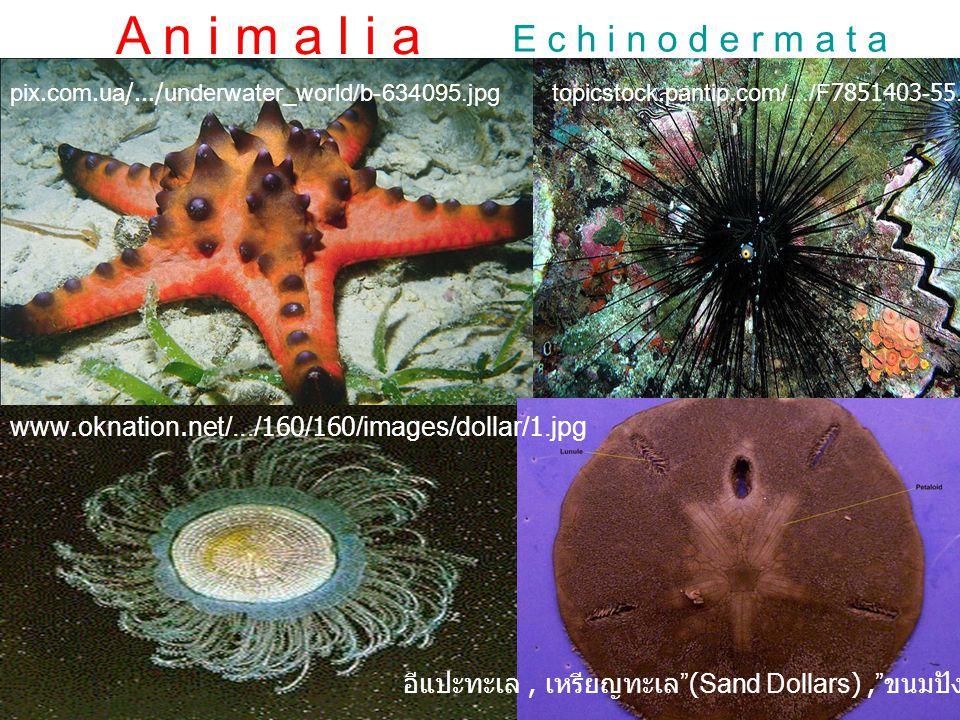 A n i m a l i a A r t h r o p o d aM e r o s t o m a t a ไทรโลไบท์ (Trilobite) เป็นสัตว์จำพวกเดียวกับแมงดาทะเล มีร่างกายแบ่งออกเป็นสามตอน คือ หัว อก แ