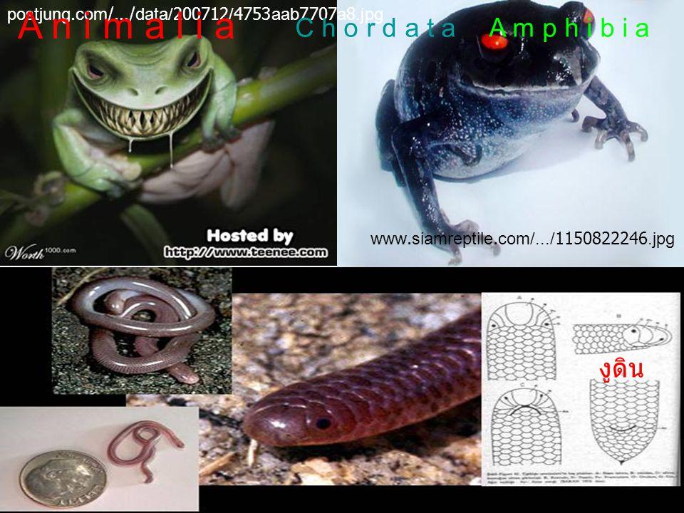 www.siamreptile.com/.../1195293930_23482.jpg ปลาปอด เผือก ปลาปอดแอฟริกา tkfiles.storage.msn.com/x1pY1pzPg3KBhvrCIG5Ki ปลาปอดแอนเนคเทน upload.wikimedia