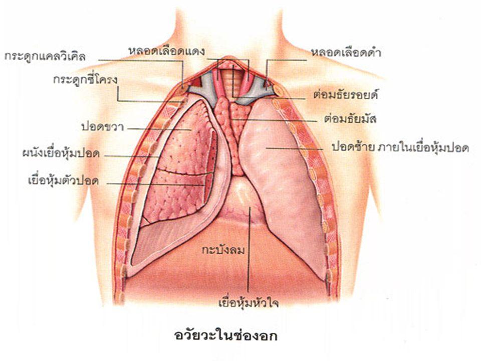 A n i m a l i a C h o r d a t aM a m m a l i a หลอดล ม กระดูก ซี่โครง หัว ใจ หลอดเลือดเว นาคาวา กะบัง ลม หลอดเลือดเอ ออร์ตา ปอด