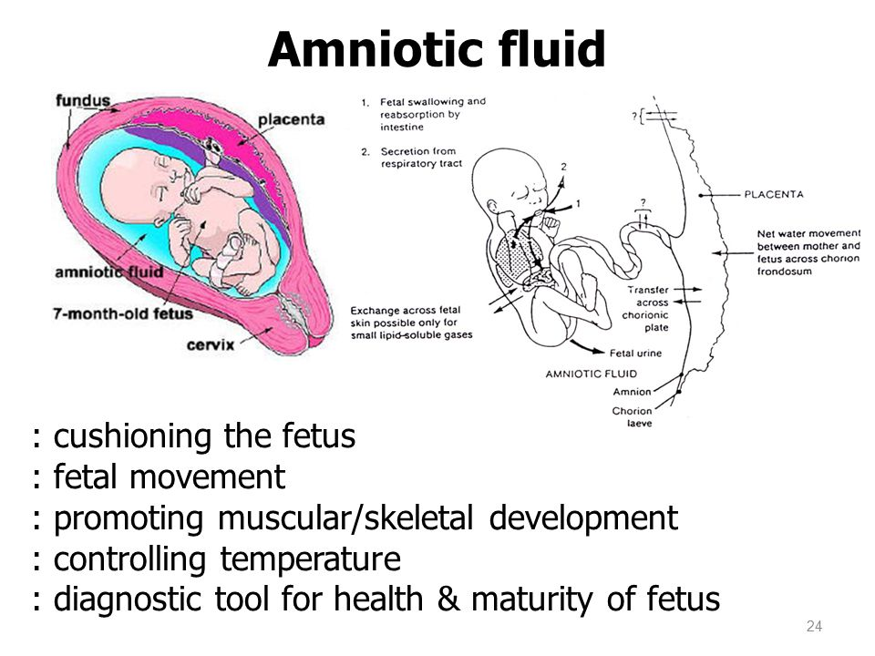 Amniotic fluid 24 : cushioning the fetus : fetal movement : promoting muscular/skeletal development : controlling temperature : diagnostic tool for he