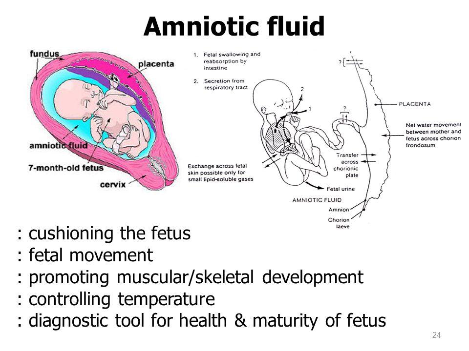 Amniotic fluid 24 : cushioning the fetus : fetal movement : promoting muscular/skeletal development : controlling temperature : diagnostic tool for health & maturity of fetus