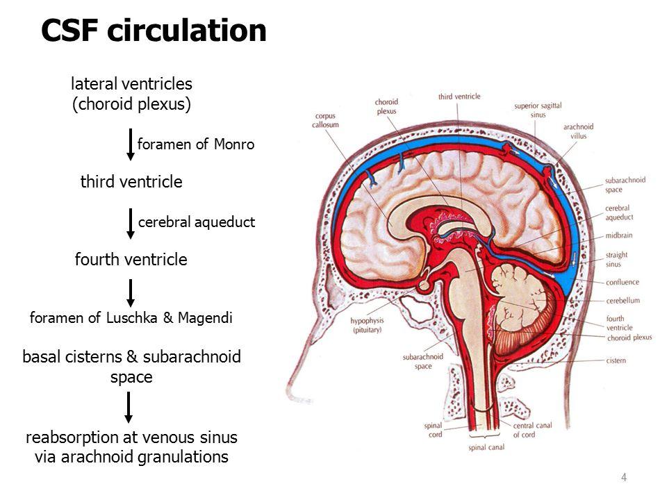 lateral ventricles (choroid plexus) foramen of Monro third ventricle cerebral aqueduct fourth ventricle foramen of Luschka & Magendi basal cisterns & subarachnoid space reabsorption at venous sinus via arachnoid granulations CSF circulation 4