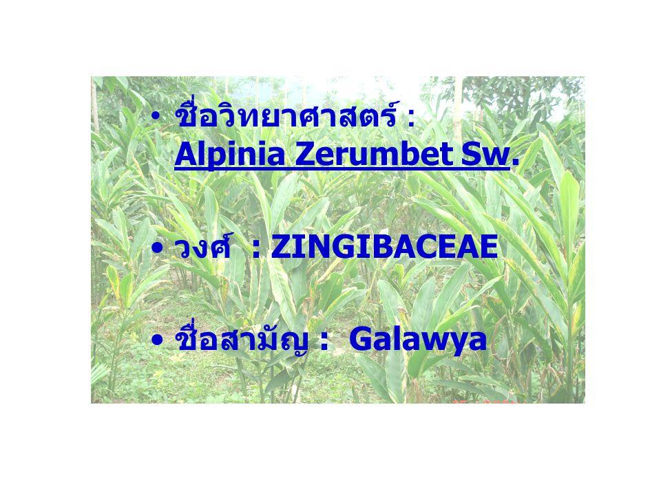 ชื่อวิทยาศาสตร์ : Alpinia Zerumbet Sw. วงศ์ : ZINGIBACEAE ชื่อสามัญ : Galawya