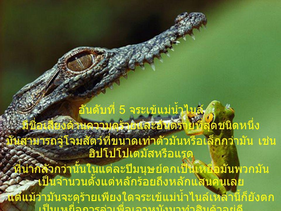 อันดับที่ 5 จระเข้แม่น้ำไนล์ มีชื่อเสียงด้านความดุร้ายและอันตรายที่สุดชนิดหนึ่ง มันสามารถจู่โจมสัตว์ที่ขนาดเท่าตัวมันหรือเล็กกว่ามัน เช่น ฮิปโปโปเตมัส