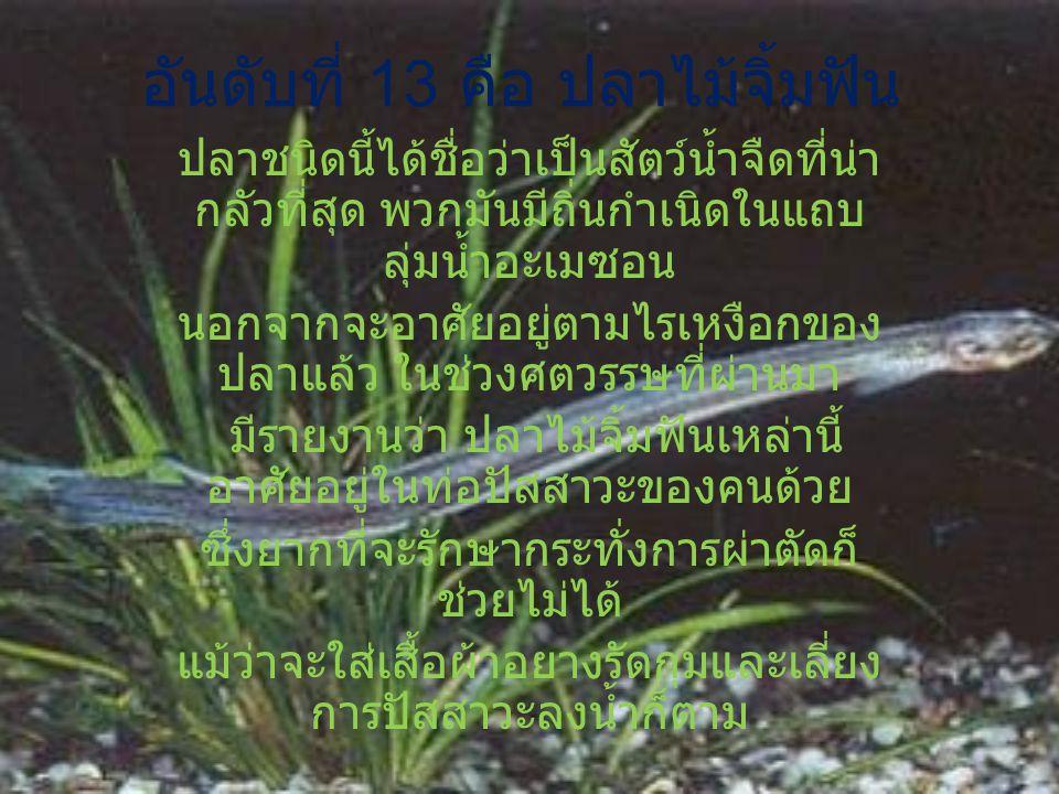 อันดับที่ 13 คือ ปลาไม้จิ้มฟัน ปลาชนิดนี้ได้ชื่อว่าเป็นสัตว์น้ำจืดที่น่า กลัวที่สุด พวกมันมีถิ่นกำเนิดในแถบ ลุ่มน้ำอะเมซอน นอกจากจะอาศัยอยู่ตามไรเหงือ