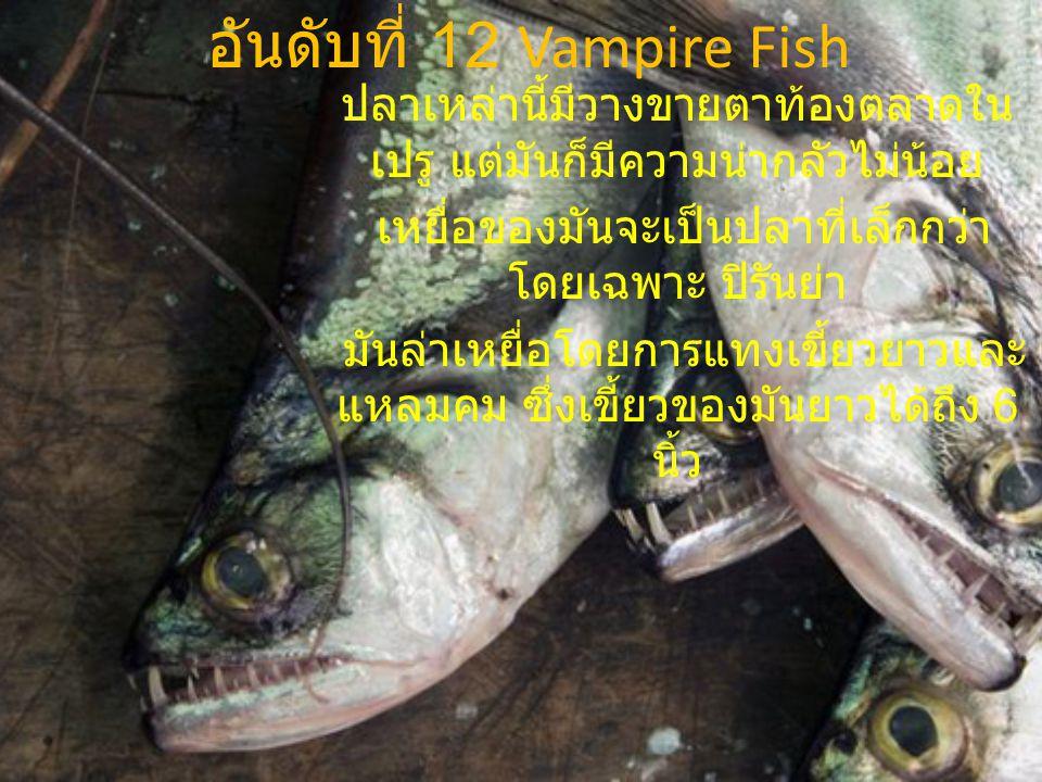 อันดับที่ 12 Vampire Fish ปลาเหล่านี้มีวางขายตาท้องตลาดใน เปรู แต่มันก็มีความน่ากลัวไม่น้อย เหยื่อของมันจะเป็นปลาที่เล็กกว่า โดยเฉพาะ ปิรันย่า มันล่าเ