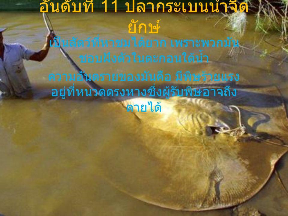 อันดับที่ 11 ปลากระเบนน้ำจืด ยักษ์ เป็นสัตว์ที่หาชมได้ยาก เพราะพวกมัน ชอบฝังตัวในตะกอนใต้น้ำ ความอันตรายของมันคือ มีพิษร้ายแรง อยู่ที่หนวดตรงหางซึ่งผู