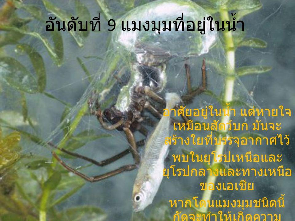 อันดับที่ 9 แมงมุมที่อยู่ในน้ำ อาศัยอยู่ในน้ำ แต่หายใจ เหมือนสัตว์บก มันจะ สร้างใยที่บรรจุอากาศไว้ พบในยุโรปเหนือและ ยุโรปกลางและทางเหนือ ของเอเชีย หา