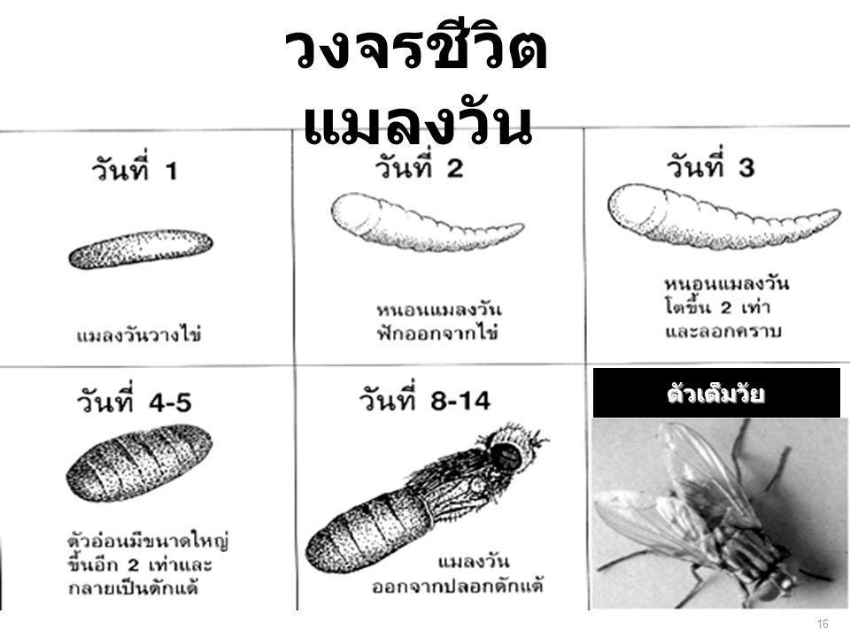 ตัวเต็มวัย วงจรชีวิต แมลงวัน 16