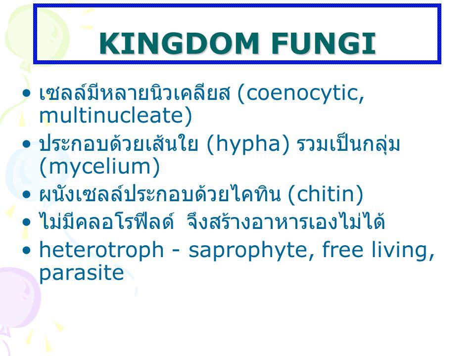 KINGDOM FUNGI เซลล์มีหลายนิวเคลียส (coenocytic, multinucleate) ประกอบด้วยเส้นใย (hypha) รวมเป็นกลุ่ม (mycelium) ผนังเซลล์ประกอบด้วยไคทิน (chitin) ไม่ม