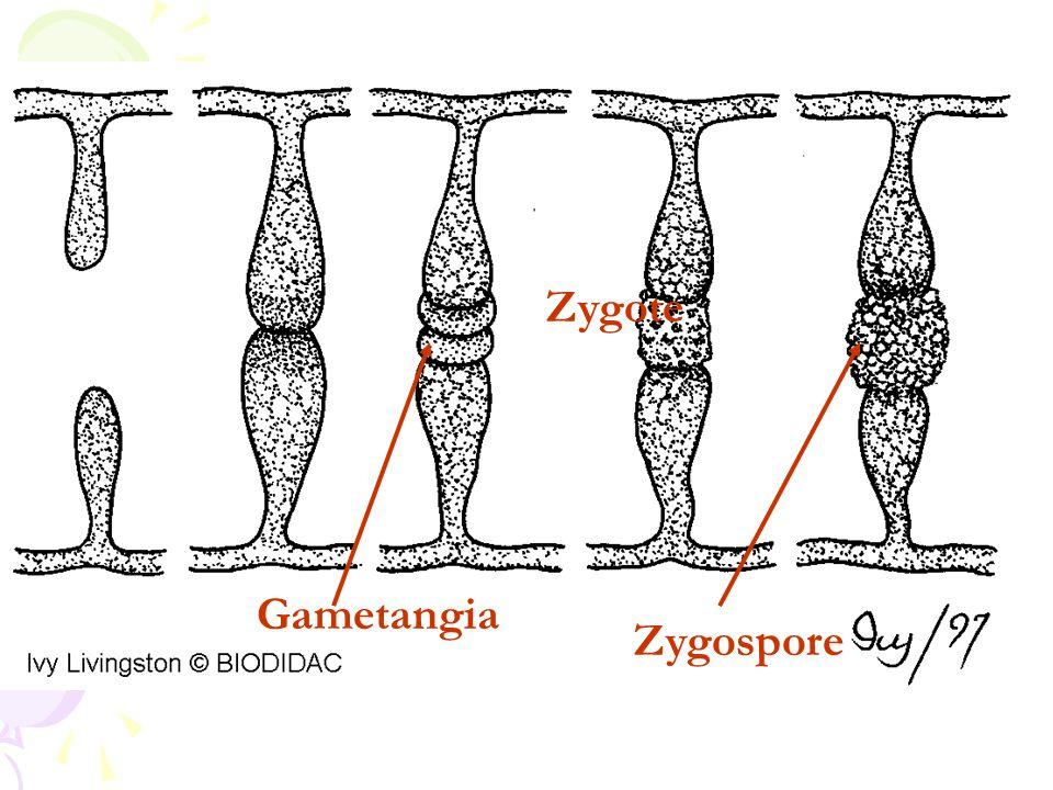 Zygospore Gametangia Zygote