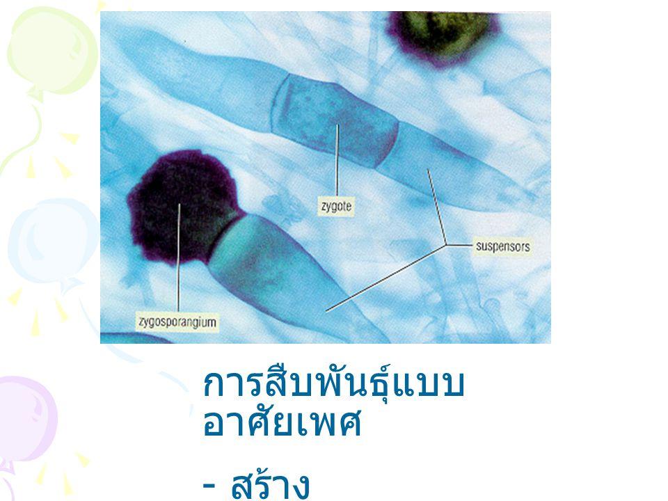 การสืบพันธุ์แบบ อาศัยเพศ - สร้าง zygospore