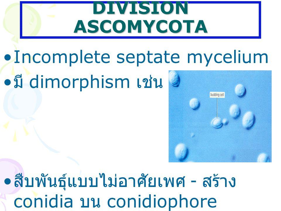 DIVISION ASCOMYCOTA Incomplete septate mycelium มี dimorphism เช่น ยีสต์ สืบพันธุ์แบบไม่อาศัยเพศ - สร้าง conidia บน conidiophore