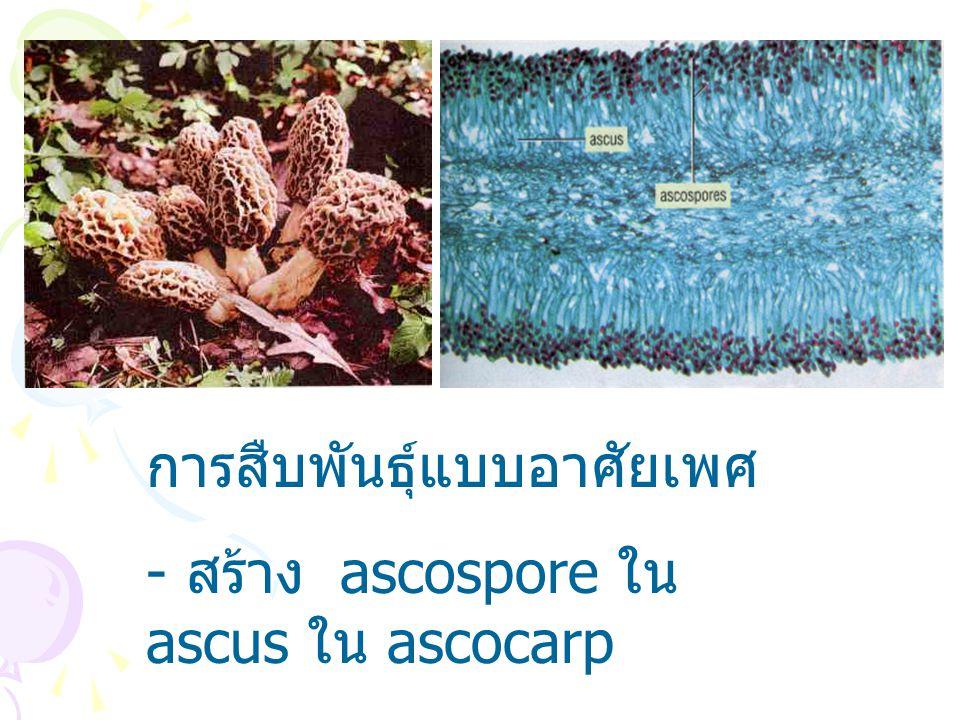 การสืบพันธุ์แบบอาศัยเพศ - สร้าง ascospore ใน ascus ใน ascocarp