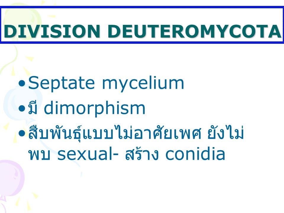 DIVISION DEUTEROMYCOTA Septate mycelium มี dimorphism สืบพันธุ์แบบไม่อาศัยเพศ ยังไม่ พบ sexual- สร้าง conidia