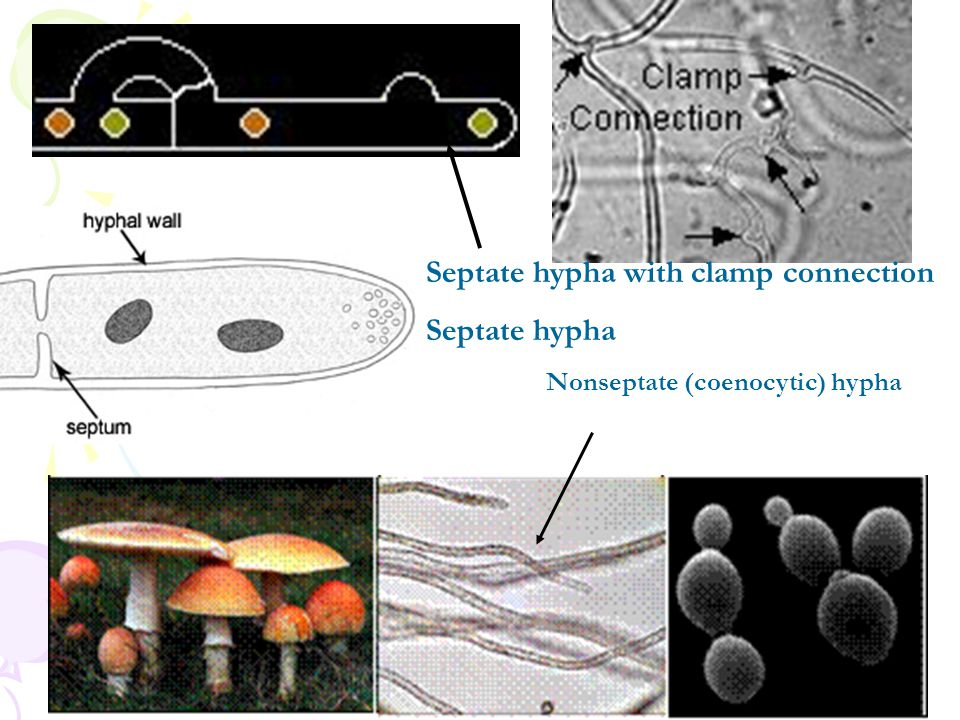 Mycorrhiza เห็ดราที่อาศัยอยู่ในรากพืชชั้นสูง