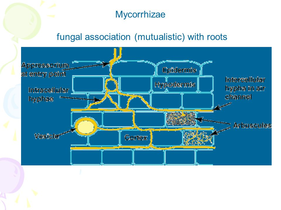 Mycorrhizae fungal association (mutualistic) with roots