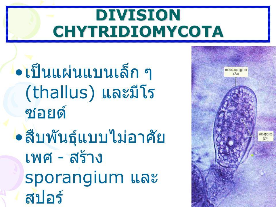 DIVISION CHYTRIDIOMYCOTA เป็นแผ่นแบนเล็ก ๆ (thallus) และมีโร ซอยด์ สืบพันธุ์แบบไม่อาศัย เพศ - สร้าง sporangium และ สปอร์ สืบพันธุ์แบบอาศัยเพศ - สร้างแ