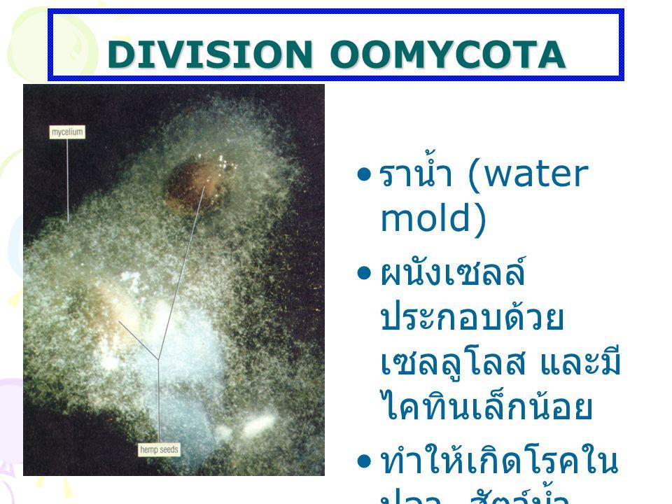 DIVISION OOMYCOTA ราน้ำ (water mold) ผนังเซลล์ ประกอบด้วย เซลลูโลส และมี ไคทินเล็กน้อย ทำให้เกิดโรคใน ปลา สัตว์น้ำ