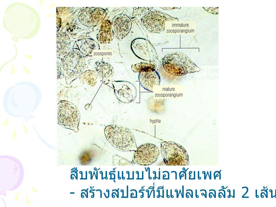 DIVISION ZYGOMYCOTA Non-septate mycelium (coenocyte) Mycelium with Sporangia (black dot- Asexual reproduction))