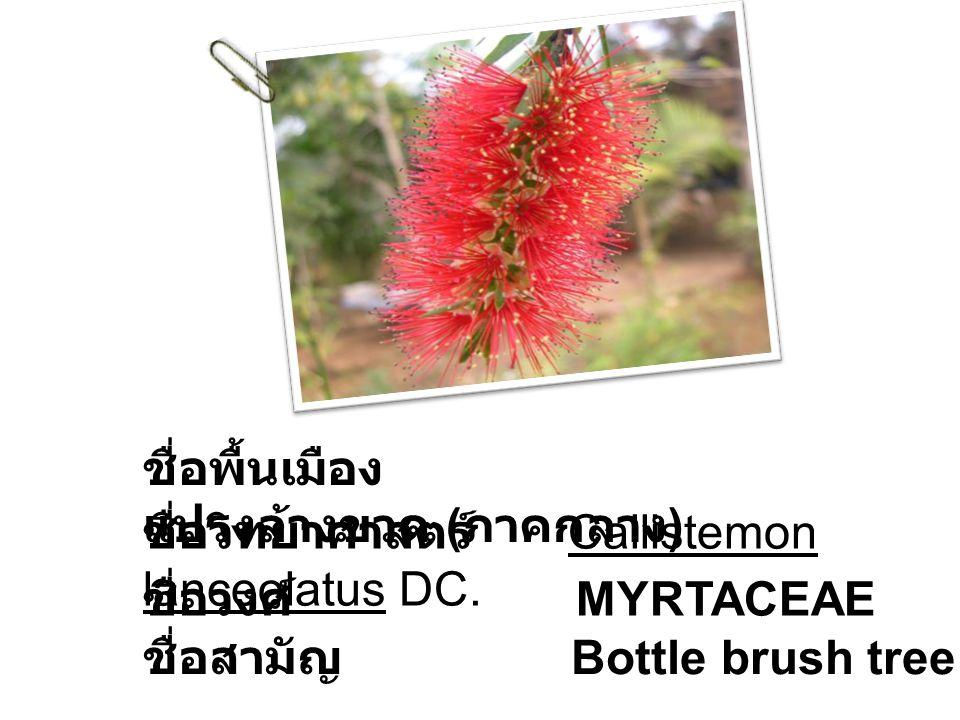 ชื่อพื้นเมือง แปรงล้างขวด ( ภาคกลาง ) ชื่อวิทยาศาสตร์ Callistemon lanceolatus DC. ชื่อวงศ์ MYRTACEAE ชื่อสามัญ Bottle brush tree