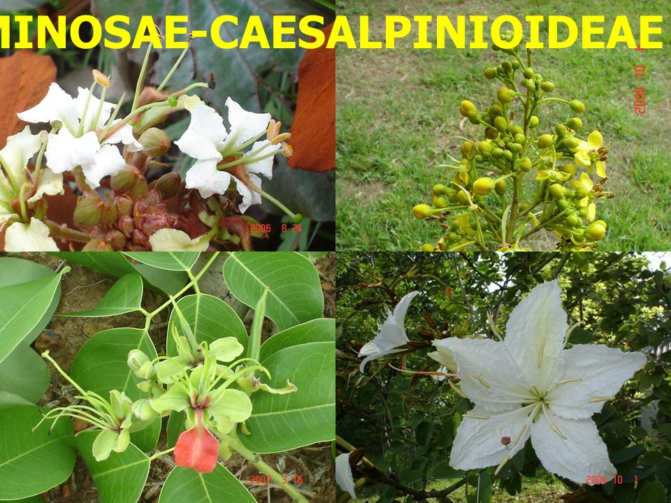 LEGUMINOSAE-CAESALPINIOIDEAE