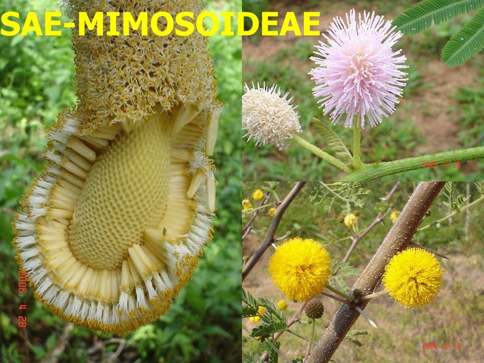 LEGUMINOSAE-MIMOSOIDEAE