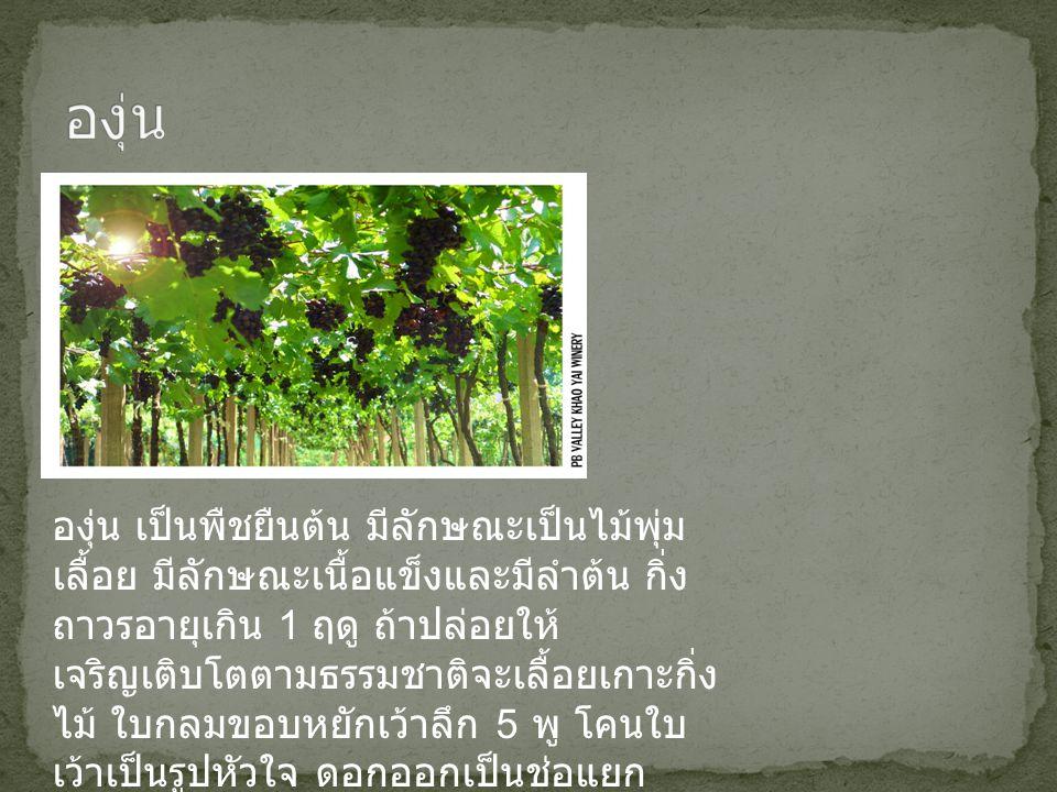 องุ่น เป็นพืชยืนต้น มีลักษณะเป็นไม้พุ่ม เลื้อย มีลักษณะเนื้อแข็งและมีลำต้น กิ่ง ถาวรอายุเกิน 1 ฤดู ถ้าปล่อยให้ เจริญเติบโตตามธรรมชาติจะเลื้อยเกาะกิ่ง