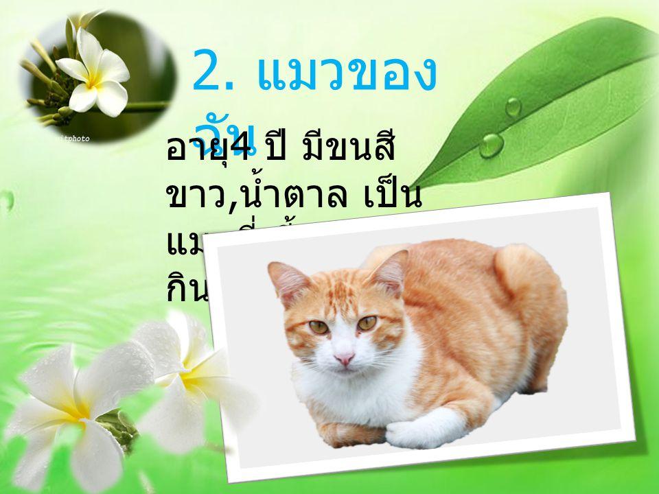 2. แมวของ ฉัน อายุ 4 ปี มีขนสี ขาว, น้ำตาล เป็น แมวที่เลี้ยงง่าย กินแล้วก็นอน