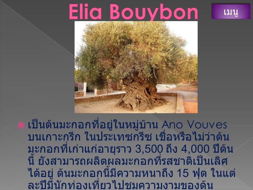  มีอีกชื่อหนึ่งในภาษาเยเมนว่า ต้นมังกรโซโคต ร้า ซึ่งเป็นต้นไม้ที่มีชื่อเสียงที่สุดในเกาะโซโคต ร้า มันมีลักษณะคล้ายร่ม เป็นต้นไม้ที่มียางสี แดงไหลซึม ที่ถูกนำไปใช้ในการผลิต เครื่องสำอาง และใช้วาดลายบน เครื่องปั้นดินเผา เมนู