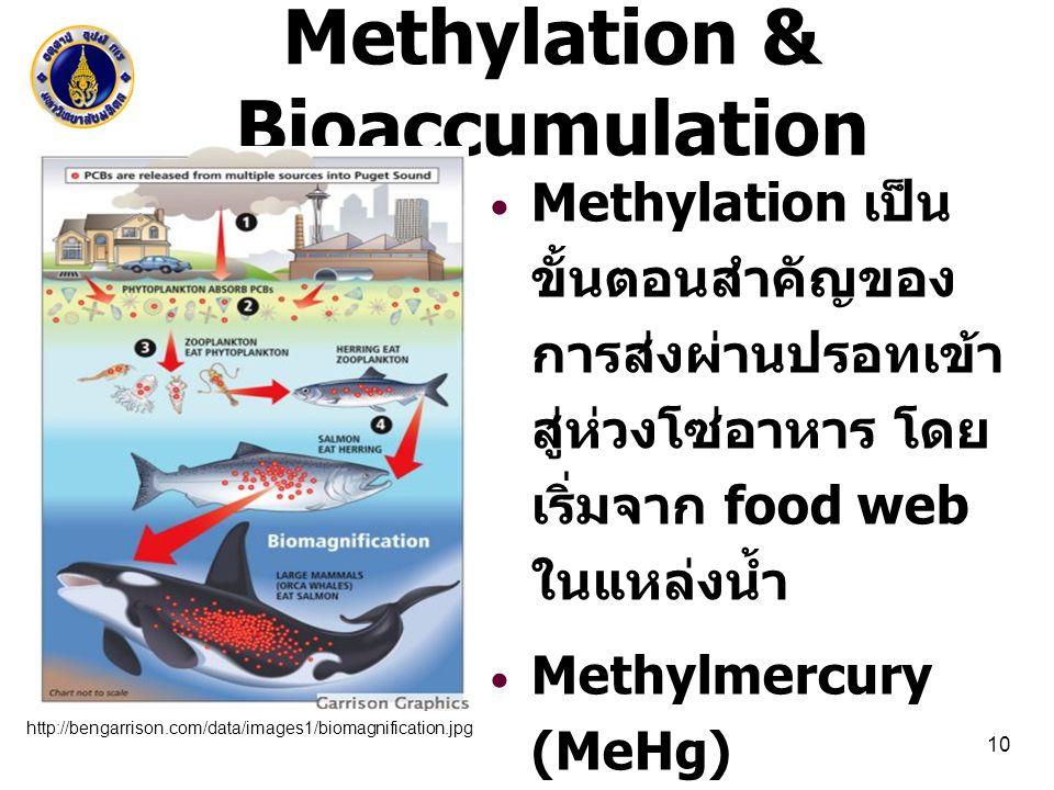 Methylation & Bioaccumulation Methylation เป็น ขั้นตอนสำคัญของ การส่งผ่านปรอทเข้า สู่ห่วงโซ่อาหาร โดย เริ่มจาก food web ในแหล่งน้ำ Methylmercury (MeHg