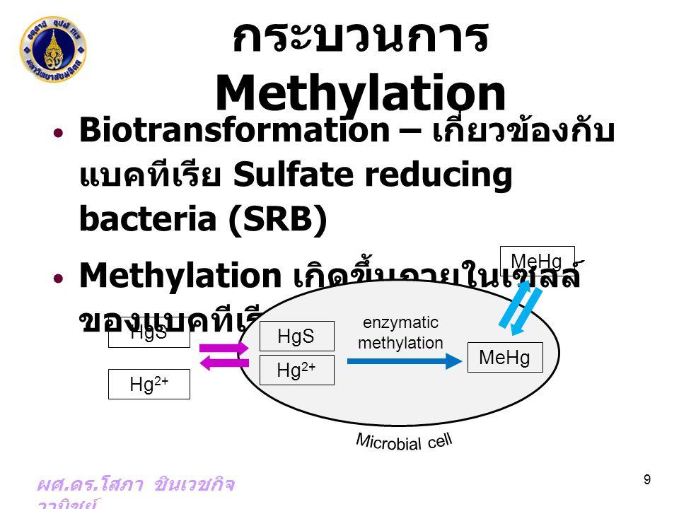 กระบวนการ Methylation Biotransformation – เกี่ยวข้องกับ แบคทีเรีย Sulfate reducing bacteria (SRB) Methylation เกิดขึ้นภายในเซลล์ ของแบคทีเรีย ผศ. ดร.