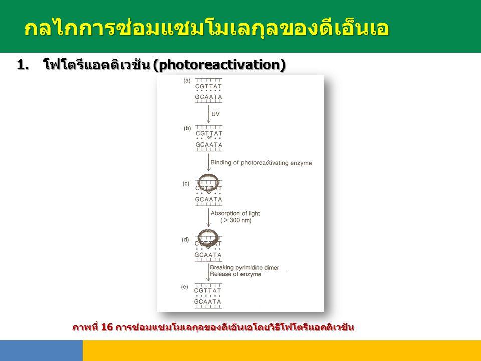 กลไกการซ่อมแซมโมเลกุลของดีเอ็นเอ 1.โฟโตรีแอคติเวชัน (photoreactivation) พันธุ์ ภาพที่ 16 การซ่อมแซมโมเลกุลของดีเอ็นเอโดยวิธีโฟโตรีแอคติเวชัน