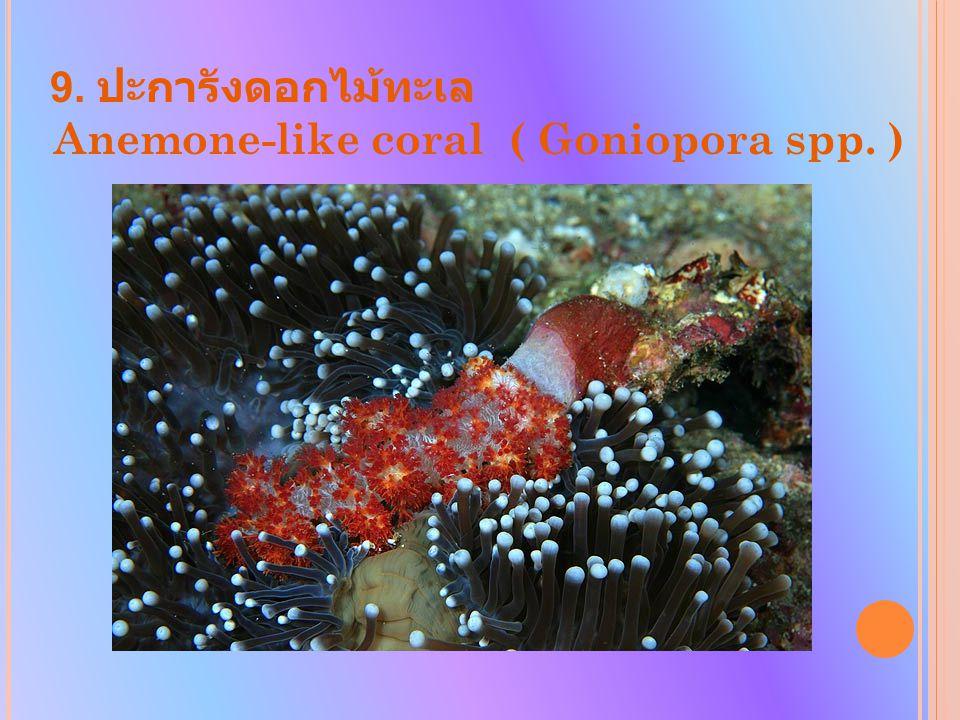 9. ปะการังดอกไม้ทะเล Anemone-like coral ( Goniopora spp. )
