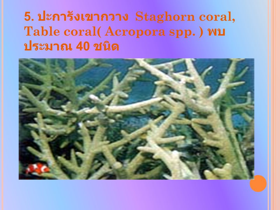 5. ปะการังเขากวาง Staghorn coral, Table coral( Acropora spp. ) พบ ประมาณ 40 ชนิด