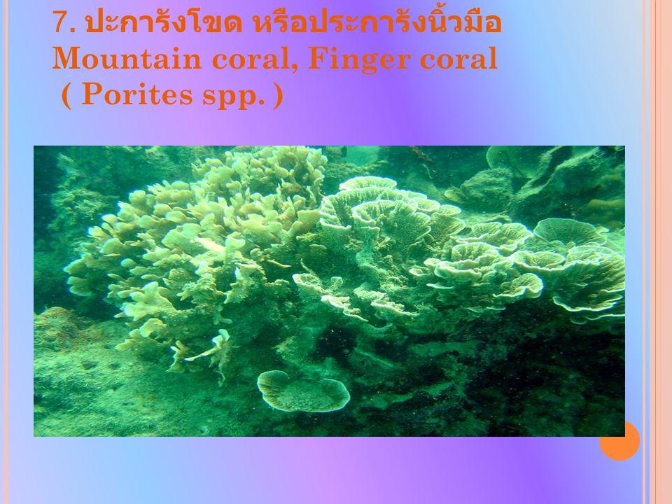 7. ปะการังโขด หรือประการังนิ้วมือ Mountain coral, Finger coral ( Porites spp. )