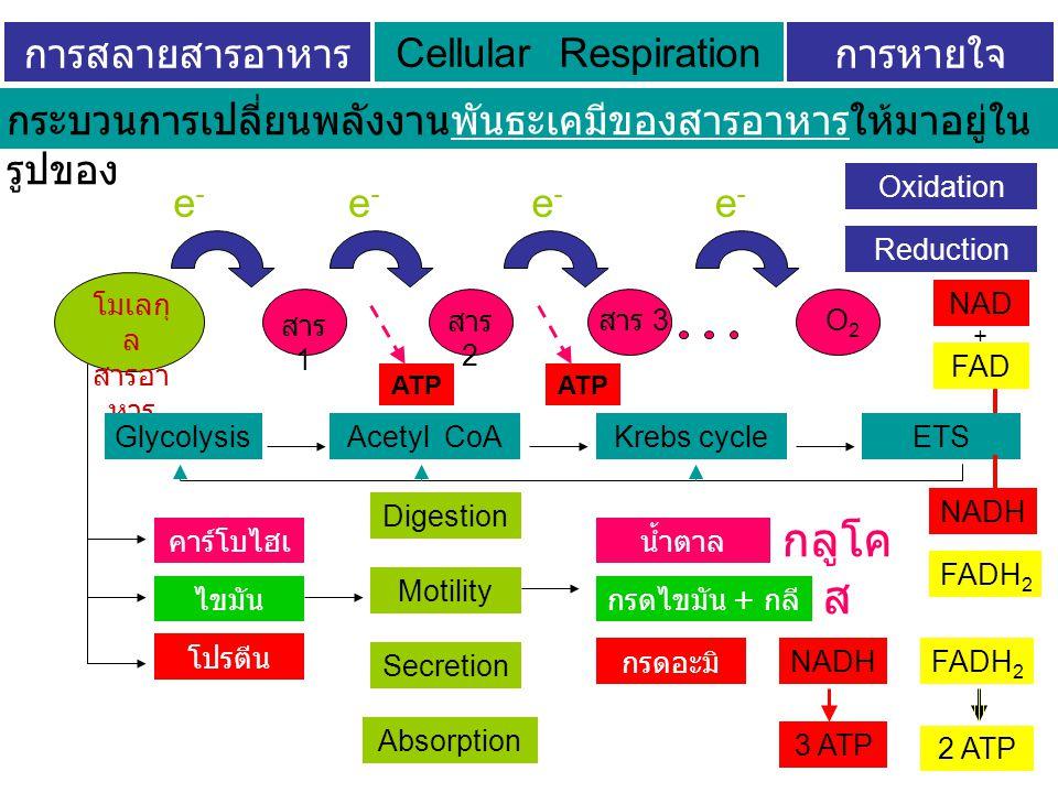 การสลายสารอาหาร ระดับเซลล์ การหายใจ ระดับเซลล์ Cellular Respiration โมเลกุ ล สารอา หาร กระบวนการเปลี่ยนพลังงานพันธะเคมีของสารอาหารให้มาอยู่ใน รูปของสารประกอบพลังงานสูง คาร์โบไฮเ ดรต ไขมัน โปรตีน น้ำตาล โมเลกุล เดี่ยว กรดไขมัน + กลี เซอรอล กรดอะมิ โน กลูโค ส Digestion Motility Secretion Absorption สาร 1 สาร 2 สาร 3 O2O2 e-e- e-e- e-e- e-e- GlycolysisAcetyl CoAKrebs cycleETS Oxidation Reduction NAD + FAD NADH FADH 2 NADH 3 ATP FADH 2 2 ATP ATP