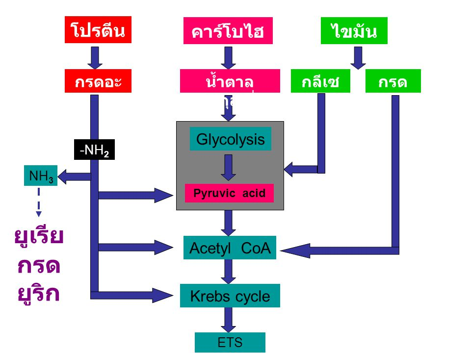 Electron Transport System ETS Glycolysis ATP FADH 2 NADH 2 ATP 2 NADH CO 2 ETS NAD + สก ลาย จ 2ตจ 2ต 2 NADH2 FADH 2 4 ATP 6 ATP 8 ATP Inner membrane 3