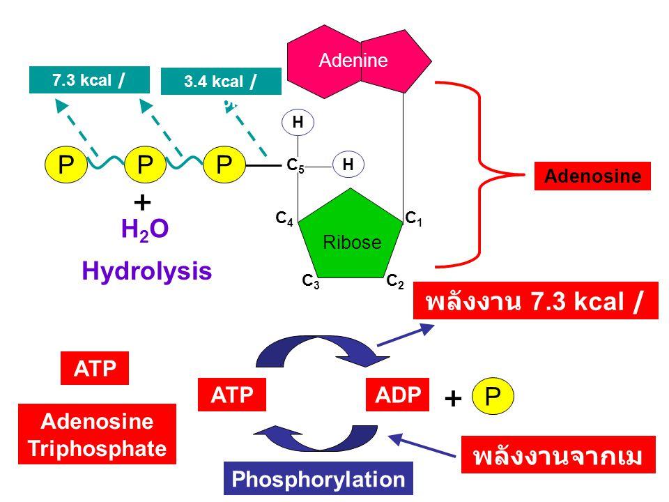 Ribose C1C1 C2C2 C4C4 C3C3 C5C5 PPP H H ATP Adenosine Triphosphate Adenine Adenosine 3.4 kcal / mol 7.3 kcal / mol ATPADP พลังงานจากเม แทบอลิซึม พลังงาน 7.3 kcal / mol H2OH2O + Hydrolysis Phosphorylation P +