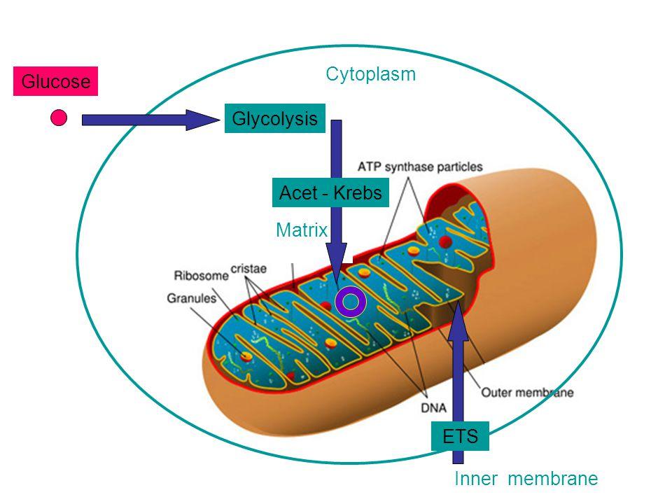 Ribose C1C1 C2C2 C4C4 C3C3 C5C5 PPP H H ATP Adenosine Triphosphate Adenine Adenosine 3.4 kcal / mol 7.3 kcal / mol ATPADP พลังงานจากเม แทบอลิซึม พลังง