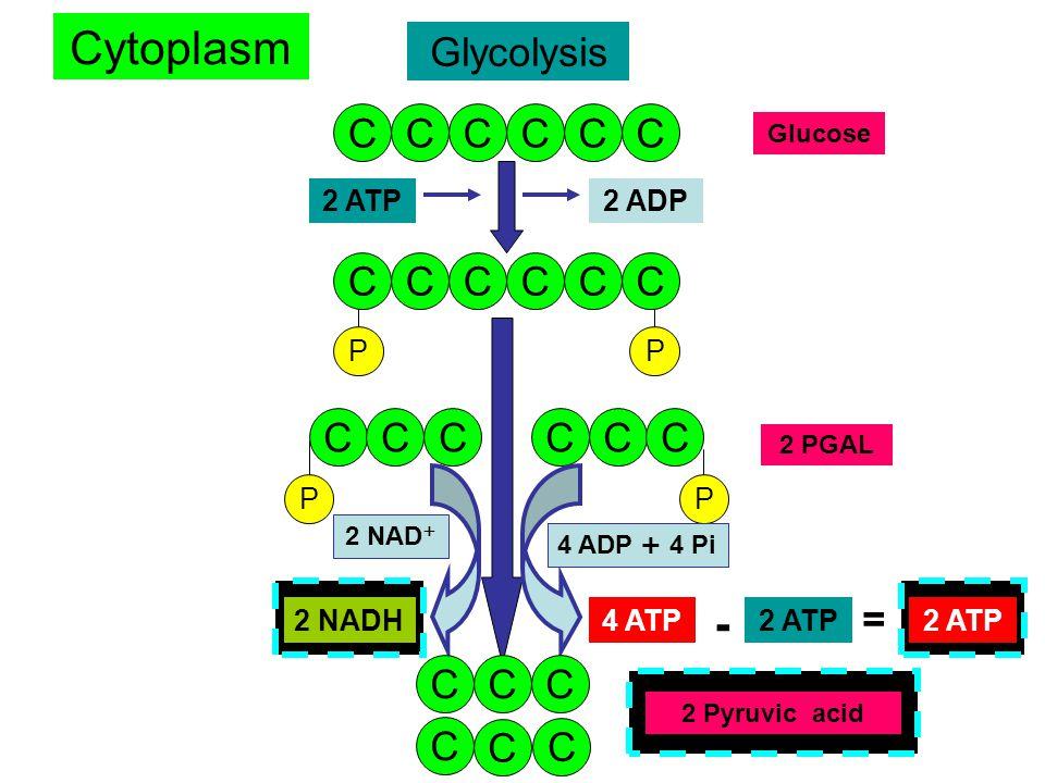 Glycolysis CCCCCC Glucose CCCCCC 2 ATP2 ADP P CCCCCC 2 PGAL 4 ADP + 4 Pi 4 ATP 2 NAD + 2 NADH C P PP CC C C C 2 Pyruvic acid Cytoplasm - 2 ATP = 4 ADP + 4 Pi