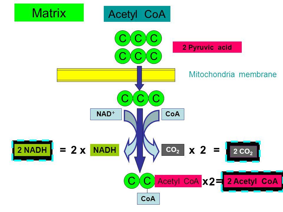 Glycolysis CCCCCC Glucose CCCCCC 2 ATP2 ADP P CCCCCC 2 PGAL 4 ADP + 4 Pi 4 ATP 2 NAD + 2 NADH C P PP CC C C C 2 Pyruvic acid Cytoplasm - 2 ATP = 4 ADP